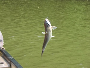 Catfish on the Monocacy